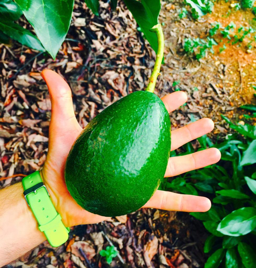 aguacate bacon verde ecológico aguacate grande en la mano natural de la terreta
